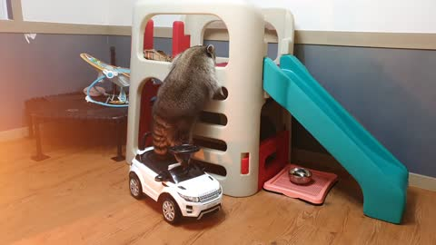 Pet raccoon stands on toy car to reach the slide