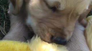 Dogy Trying To Eat Toy Duck - Video