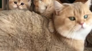 Father cat and his adorable babies.