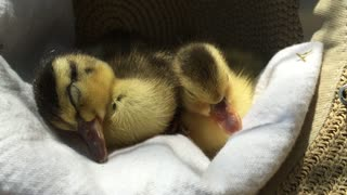 Tired Ducklings Fall Asleep Huddled Up In A Hat - Video