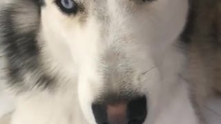 Husky Dog Talking i love u  - Video
