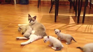 A Nursing mother cat with kittens on the house floor video