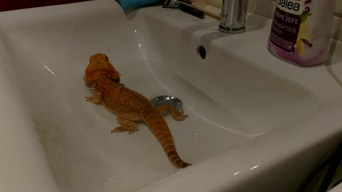 Bearded dragon having fun whilst splashing