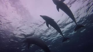 A flock of dolphins swimming in the Red Sea, Eilat Israel photographed by Meni Meller