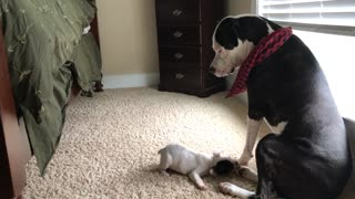 American Bulldog unimpressed with French Bulldog puppy