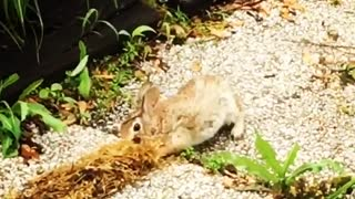 Collab copyright protection - bunny flips from carrying away weeds - Video