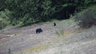Check Out This Bear With A Blue Head - Video