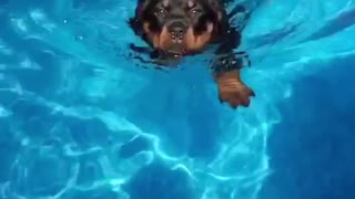 Black dog slow motion swimming towards camera - Video