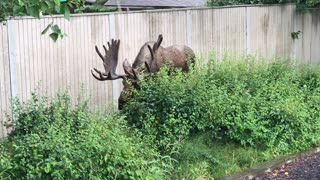 Large Moose Angles Antlers to Squeeze Through Gate