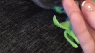 French bulldog is scared of spiders