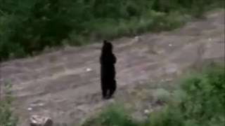 Just bear walking upright like a human - Video