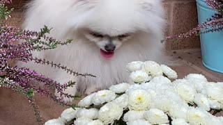 An Adorable White Dog close to White Flowers
