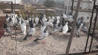 Collection of Pigeons in home  - Video
