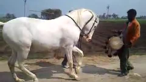 A Horse shaking a leg to drums!
