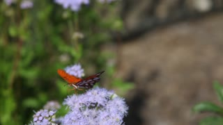Orange butterfly on a flower. - Video
