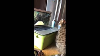 Bird-watching cat thoroughly confused by laptop screen - Video