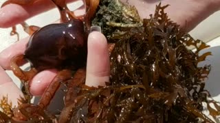 Girl finds Baby Octopus !