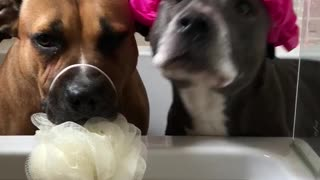 Pit bulls are definitely ready for bath time