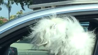 Baby laughs at white dog with sunglasses in silver car - Video