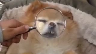 Cream dog with magnifier on face
