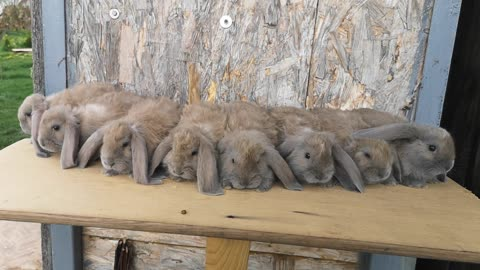 Little rabbits stand at attention