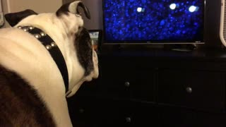 English Bulldog deeply intrigued by children's movie - Video