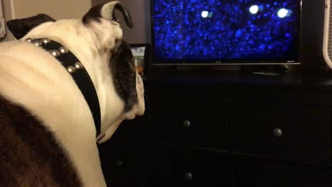 English Bulldog deeply intrigued by children's movie