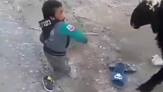 YOUNG FIGHTER VS SHEEP