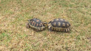 Tortoise attacks - Video