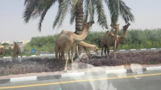 Camels on the roads of Dubai - Video