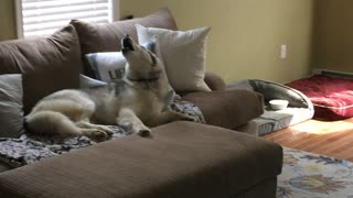 Stubborn Husky Is A Lazy Couch Potato - Video
