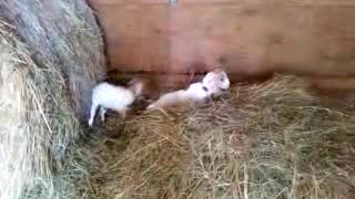 Baby Goat Happy Dance - Video