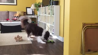 Smart Border Collie Puts On A Show For The Hidden Camera - Video