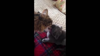Mother cat cleans her adorable kitten