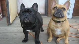 French bulldogs beggars  - Video