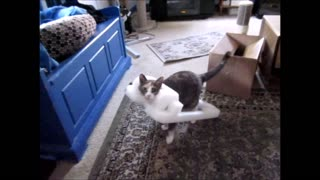 Cat has strange obsession with styrofoam outfit - Video