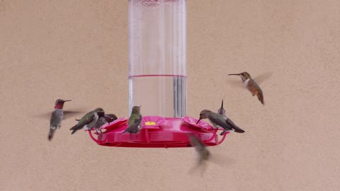 Feeding hummingbirds welcome unexpected visitor