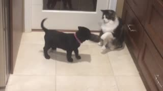 Cat teases puppy with her flicking tail, watch the outcome  - Video