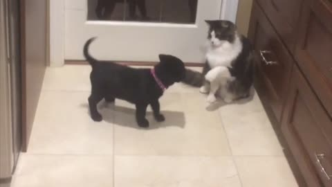 Cat teases puppy with her flicking tail, watch the outcome