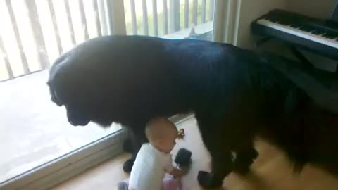 Cute toddler grooms giant dog