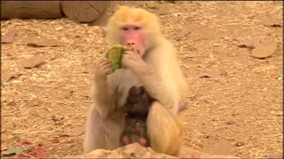 Light-coloured baboon gives birth to dark coloured baby - Video