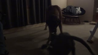 Cane Corso puppy v.s 220lb English Mastiff tug of war - Video