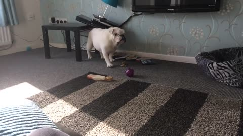 Bulldog creates mess after using table to scratch itch