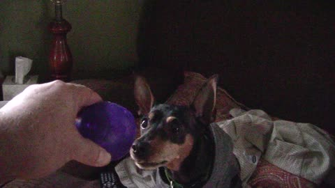 Dog licks chops with every squeak of the ball