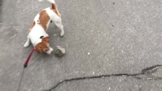 Dog handles large rock like personal chew toy - Video