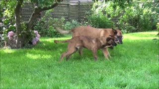 Two dogs and 1 stick - Video