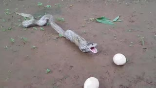 Snake Eating Egg and throwing out the them - Video