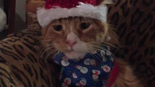 Kitten has hilarious reaction to new Christmas outfit