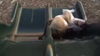 Clumsy Bulldog - Video