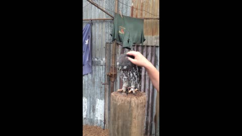 Owl makes adorable noises when being scratched